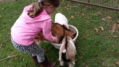 Feeding baby goats.