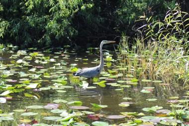 Blue Heron in the water