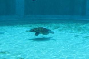 Huge sea turtle