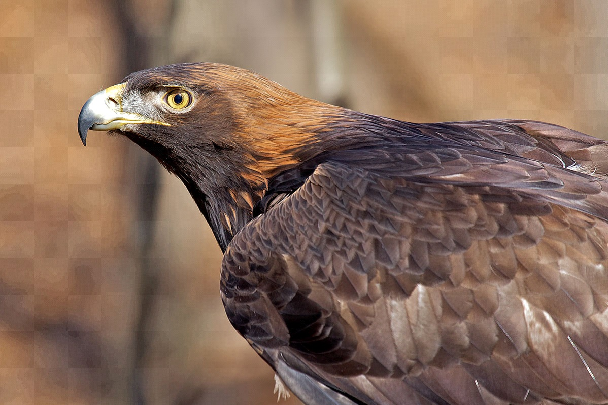National Bird of Afghanistan
