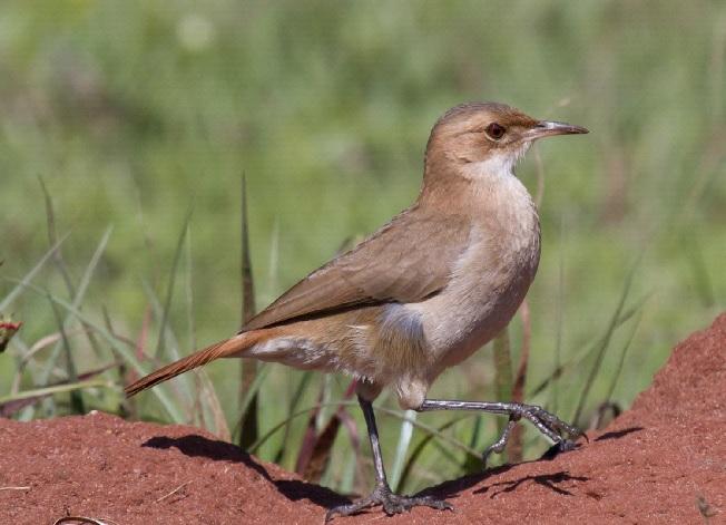 National Bird of Argentina