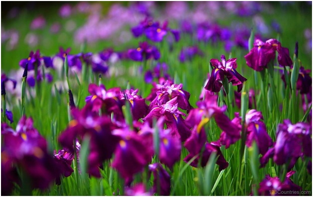 What Is The National Flower of France?