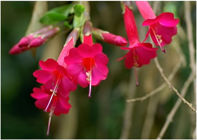 What Is The National Flower of Bolivia?