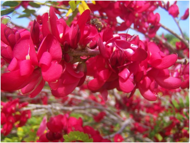 What Is The National Flower of Dominica?