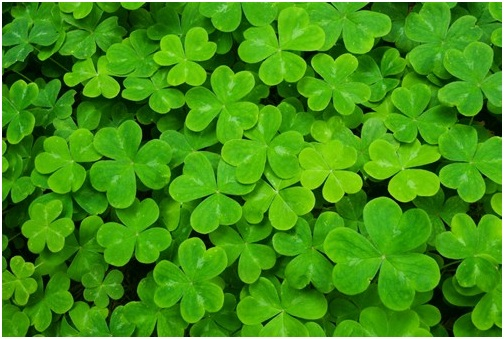 What Is The National Flower of Ireland?