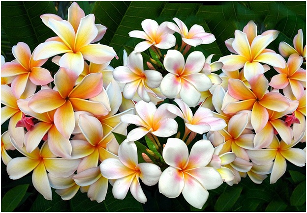 What Is The National Flower of Laos?