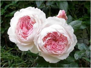What Is The National Flower of Luxembourg?