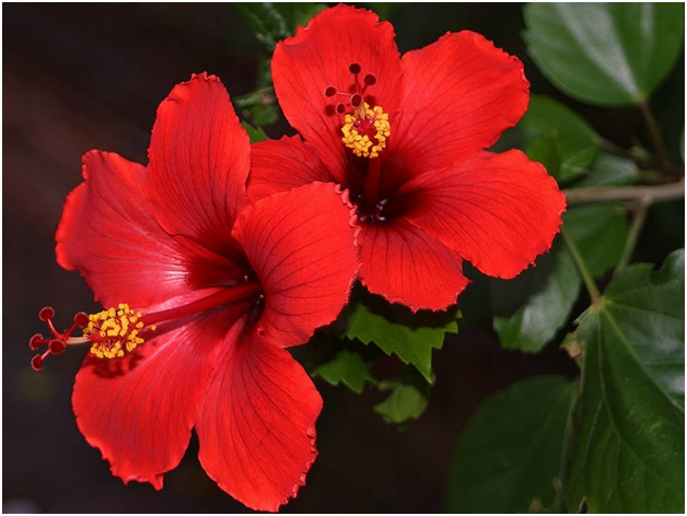 What Is The National flower of Malaysia?