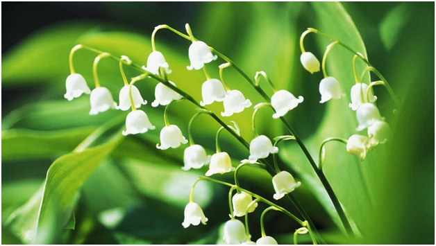 What Is The National Flower of Finland?