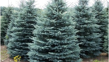 what is the state tree of south dakota whatsanswer