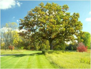 What Is The State Tree of Connecticut?
