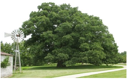 What Is The State Tree of Maryland?