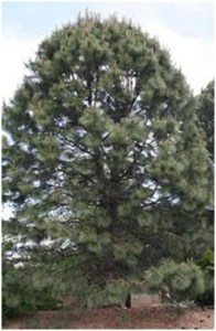 What Is The State Tree of Montana?