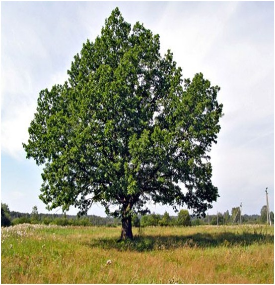 What Is The State Tree of Texas?