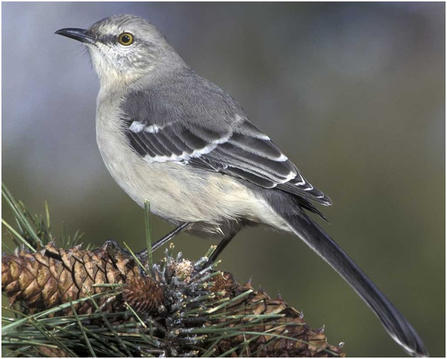 What is the Arkansas State Bird?