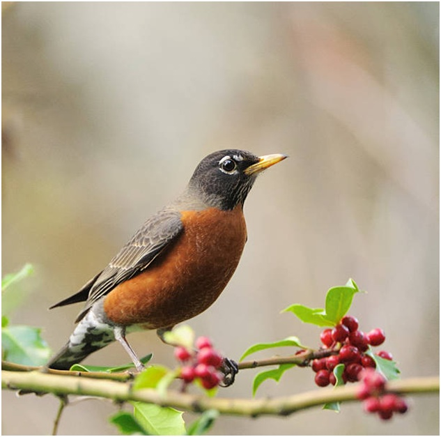 What is the Connecticut State Bird?