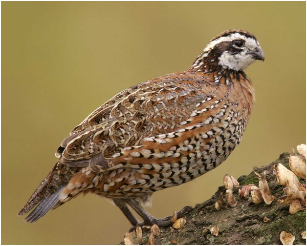 What is the Georgia State Game Bird?
