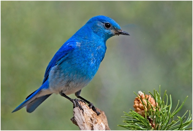What is the Idaho State Bird?