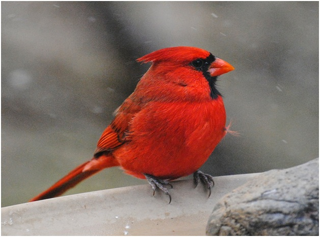 What is the Indiana State Bird?
