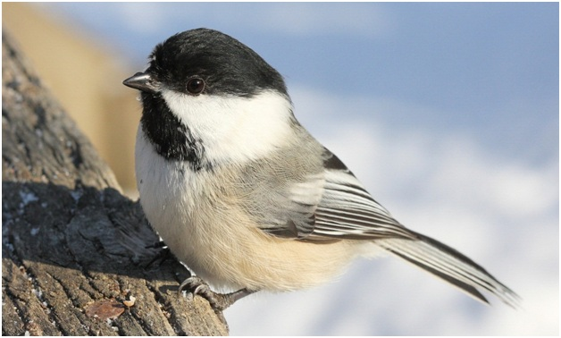 What is the Maine State Bird?
