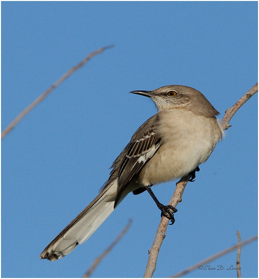 What is the Mississippi State Bird?