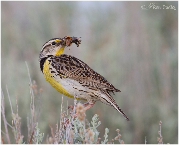 What is the Minnesota State Bird?
