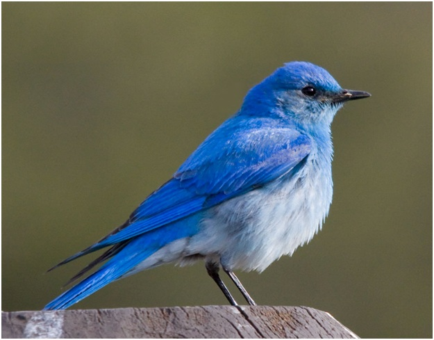 What is the Nevada State Bird?