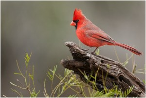 What is the North Carolina State Bird?