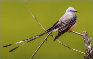 What is the Oklahoma State Bird?