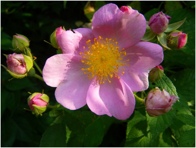 What is the State Flower of North Dakota?