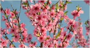What is the State Flowers of Delaware?