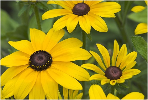 What is the State Flowers of Maryland?