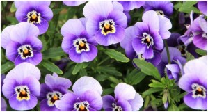 What is the State Flowers of New Jersey?