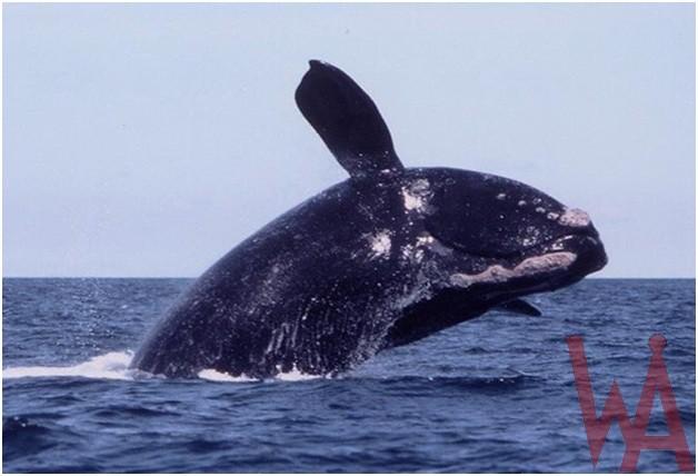 What is the State Marine mammal of Massachusetts?