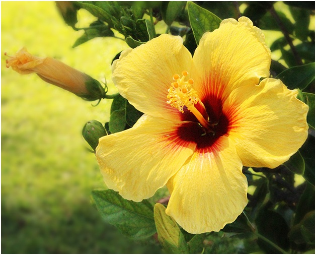 What is the State flower of Hawaii?