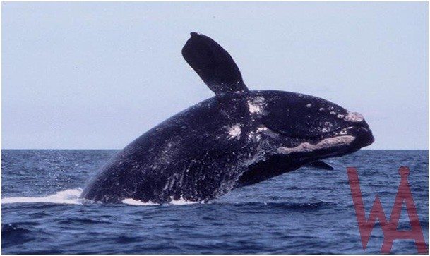 What is the State migratory marine mammal of South Carolina?