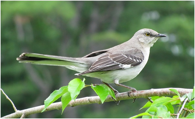 What is the Texas State Bird?