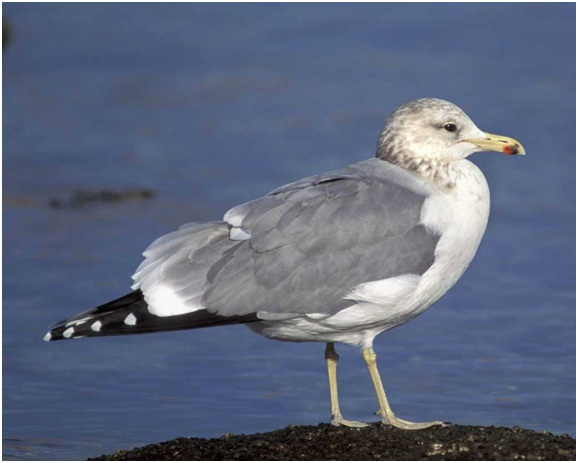What is the Utah State Bird?