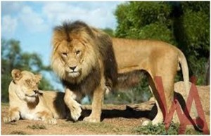 What is the National Animal of Ethiopia?