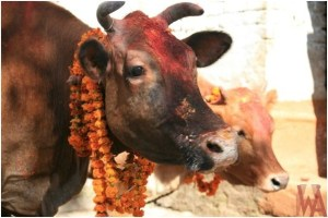 What is the National Animal of Nepal?