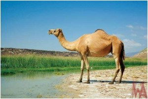 What is the National animal of Eritrea?