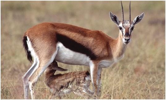 National Animal of Swaziland