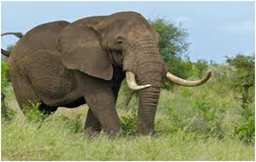 National animal of South Africa