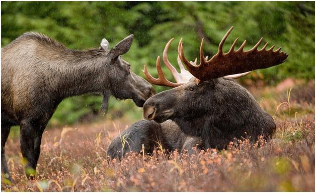 National Animal of Sweden