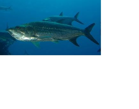 State Saltwater Fish of Alabama