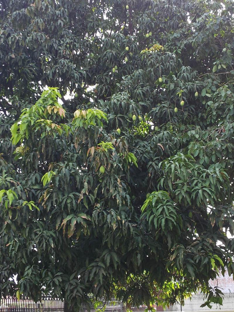 Sweet and spicy raw mango chutney - Chunda
