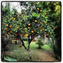 One of the many orange trees