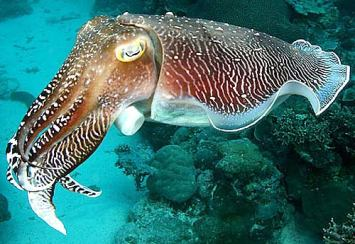 cuttlefish-dark