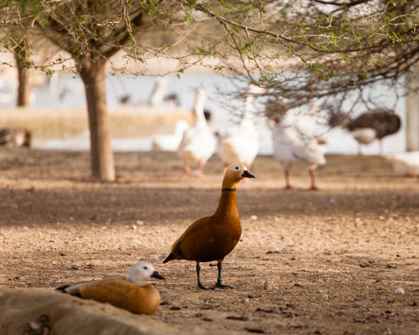 Wildlife at Al Qudra Lakes