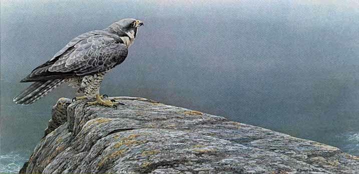 falcon pinterest